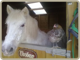 Horse and chicken at The Wheelhouse B&B